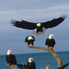 Alaska. Homer spit. Kenai Peninsula, Kachemak Bay, Kenai Mountains.  Bald Eagles (Haliaeetus leucocephalus) roost on a log on the beach in early spring.