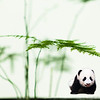 Panda and Soft Bamboo