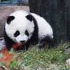 Three-month old baby panda