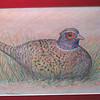 Ring-necked Pheasant, nov 1993, color pencil, 9 5x7 5