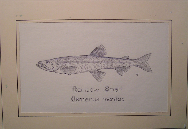 Rainbow Smelt, june1980  pen, 8 5x11