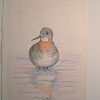 Red-necked Phalarope, oct 1993, color pencil, 8 5x11