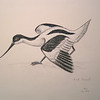 Pied Avocet, apr 1993, color pencil, 11x8 5