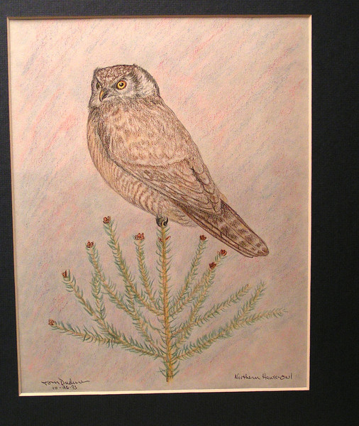 Northern Hawk Owl, oct 1993, color pencil, 7 5x9 5