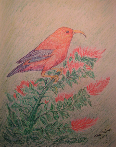 I'iwi, march 2004, color pencil, 11x8 5