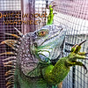 Iguana at Seminole County Animal Services