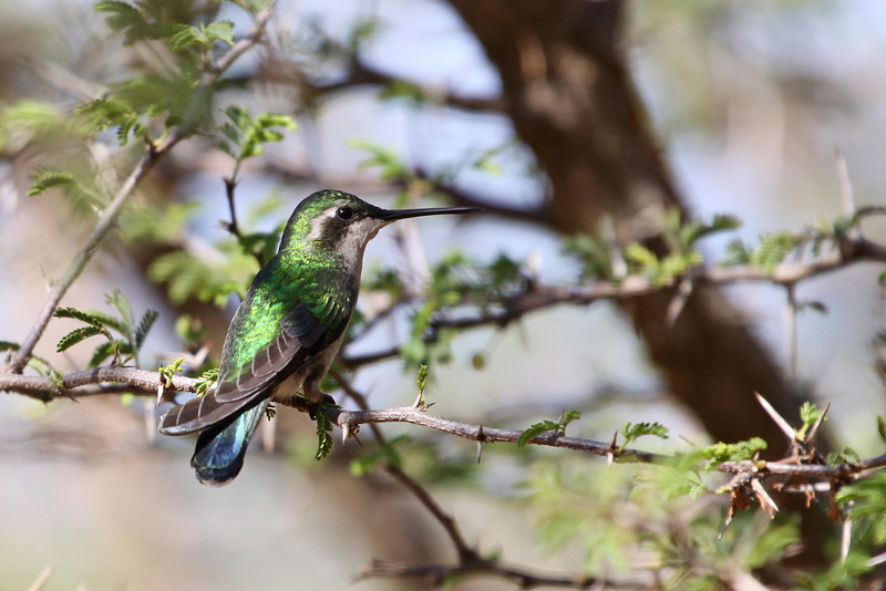 Blue-tailed Emerald hummingbird (Chlorostilbon mellisugus), adult<br /> Photo credit - Diego Marquez