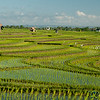 Terraced Rice Fields Outside Canggu - Bali, Indonesia