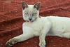 Burmese Cat Sanctuary at the Inthar Heritage House