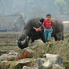 A Boy and A Water Buffalo - Sapa, Vietnam