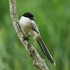 "Azure-winged Magpie / Pie bleue / 물까치<br> ""Korean"" subspecies<br> <i>Cyanopica cyanus koreensis</i><br> Gwangjuho Lake Ecology Park, Chunghyo-dong, Gwangju, South Korea<br> 5 July 2014"
