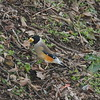 Yellow-billed Grosbeak (male) / Gros-bec migrateur (mâle) / 밀화부리<br> Nominate subspecies<br> <i>Eophona migratoria migratoria</i><br> Hwangan-myeon, Haenam-gun, Jeollanam-do, South Korea<br> 4 January 2015