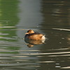 Little Grebe / Grèbe castagneux / 논병아리<br> <i>poggei</i> subspecies<br><i>Tachybaptus ruficollis poggei</i><br> Family <i>Podicipedidae</i><br> Yeongsangang River, Hyanggyo-ri, Damyang-gun, Jeollanam-do, South Korea<br> 27 December 2014
