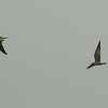 Whiskered Tern (juvenile) / Guifette moustac (adolescent) / 구레나루제비갈매기<br> Nominate subspecies<br> <i>Chlidonias hybrida hybrida</i><br> Family <i>Sternidae</i><br> Anpung-dong, Suncheon-si, Jeollanam-do, South Korea<br> 30 August 2014