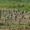 """Black-tailed Godwit / Barge à queue noire / 흑꼬리도요<br> """"Siberian"""" subspecies<br> <i>Limosa limosa melanuroides</i><br> Family <i>Scolopacidae</i><br> Anpung-dong, Suncheon-si, Jeollanam-do, South Korea<br> 30 April 2014"""