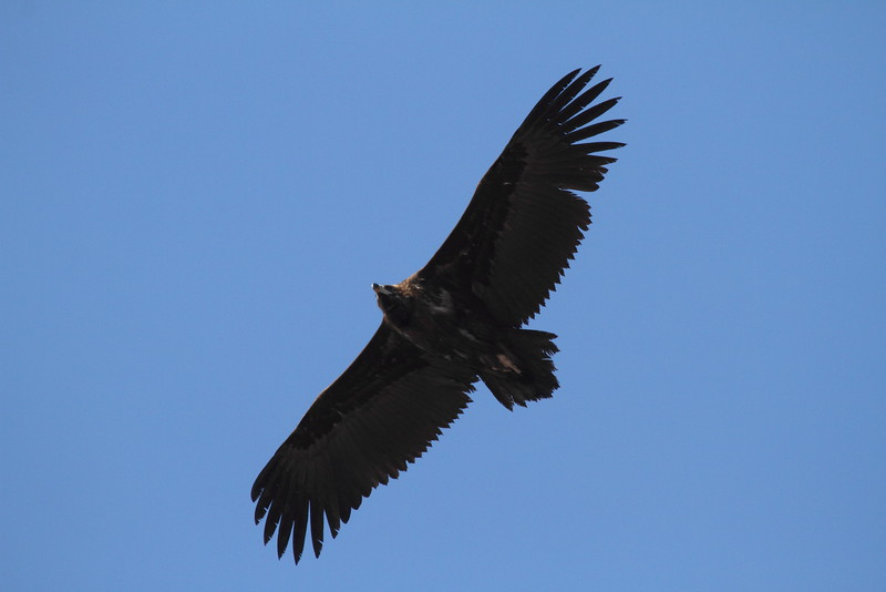 Cinereous Vulture / Vautour moine / 독수리<br> <i>Aegypius monachus</i><br> Family <i>Accipitridae</i><br> Mudeungsan National Park, Geumgok-dong, Gwangju, South Korea<br> 24 January 2015