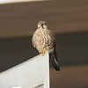 Eurasian Kestrel (juvenile) / Faucon crécerelle (adolescent) / 황조롱이<br> <i>Falco tinnunculus</i><br> Family <i>Falconidae</i><br> Yeongsangang River, Yeonje-dong, Gwangju, South Korea<br> 23 January 2015