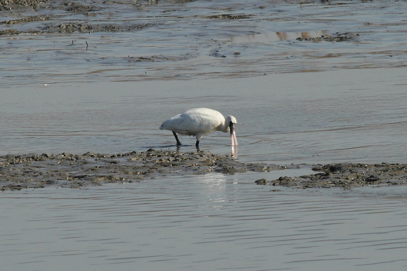 Black-faced Spoonbill / Petite spatule / 저어새Platalea minor Family Threskiornithidae Gangjin Bay, Gangjin-eup, Gangjin-gun, Jeollanam-do, South Korea 8 December 2013