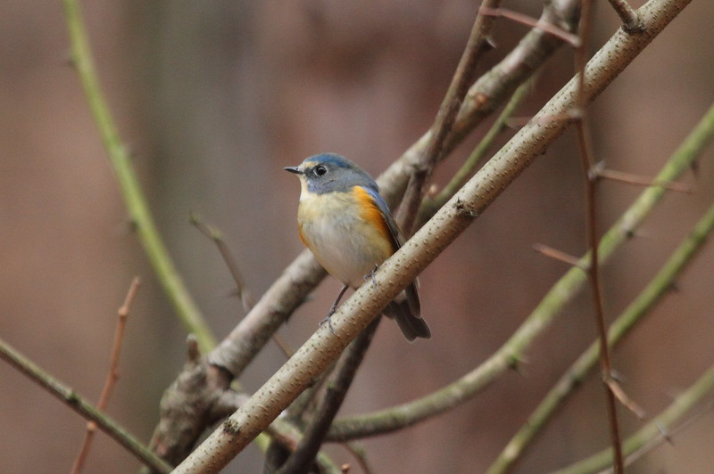 Red-flanked Bluetail (male) / Rossignol à flancs roux (mâle) / 유리딱새<br><i>Tarsiger cyanura</i><br> Gakhwa Reservoir, Gakhwa-dong, Gwangju, South Korea<br> 28 December 2014