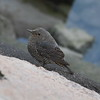 """Blue Rock-thrush (female) / Monticole merle-bleu (femelle) / 바다직박구리<br> """"Red-bellied"""" subspecies<br> <i>Monticola solitarius philippensis</i><br> Nakdonggang River Estuary, Myeongji-dong, Busan, South Korea<br> 31 January 2015"""