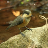 Varied Tit (juvenile) / Mésange variée (adolescent) / 곤줄박이<br> Nominate subspecies<br><i>Poecile varius varius</i><br> Dongbu-myeon, Geoje-si, Gyeongsangnam-do, South Korea<br> 7 June 2014