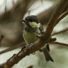 Coal Tit (juvenile) / Mésange noire (adolescent) / 진박새<br> Nominate subspecies<br> <i>Periparus ater ater</i><br> Mangwol-dong, Gwangju, South Korea<br> 28 June 2014