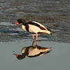Common Shelduck / Tadorne de Belon / 혹부리오리<br> <i>Tadorna tadorna</i><br> Nakdonggang River Estuary, Myeongji-dong, Busan, South Korea<br> 31 January 2015