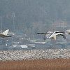 Whooper Swan / Cygne chanteur / 큰고니Cygnus cygnus Gangjin Bay, Gangjin-eup, Gangjin-gun, Jeollanam-do, South Korea 8 December 2013