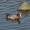 Eurasian Wigeon (male) / Canard siffleur (mâle) / 홍머리오리<br> <i>Anas penelope</i><br> Nakdonggang River, Myeongji-dong, Busan, South Korea<br> 31 January 2015
