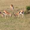 Thompsons_Gazelle_Mara_Reserve_Asilia_Kenya0001
