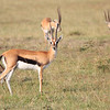 Thompsons_Gazelle_Mara_Reserve_Asilia_Kenya0003