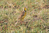 Yellow-Throated_Longclaw_Topi_House_Asilia_Kenya0003