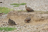 Yellow-Throated_Sandgrouse_Topi_House_Asilia_Kenya0002