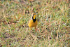 Yellow-Throated_Longclaw_Topi_House_Asilia_Kenya0007