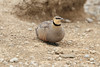 Yellow-Throated_Sandgrouse_Topi_House_Asilia_Kenya0019