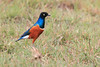 Superb_Starling_Topi_House_Asilia_Kenya0003