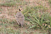 Yellow-Throated_Sandgrouse_Topi_House_Asilia_Kenya0008