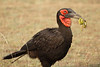 Ground_Hornbill_Mara_Asilia_Kenya0012