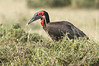 Ground_Hornbill_Mara_Asilia_Kenya0015
