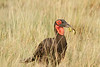 Ground_Hornbill_Mara_Asilia_Kenya0017
