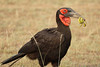 Ground_Hornbill_Mara_Asilia_Kenya0011