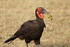 Ground_Hornbill_Mara_Asilia_Kenya0009