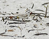 Snowy Plover Sheltering Eggs