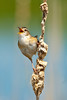 "Marsh Wren 2012 1st Place Winner Pro Bird category - Mass Audubon ""Picture This: Your Great Outdoors"" photo contest"