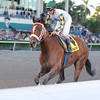 Mucho Macho Man wins the 2014 Florida Sunshine Millions Classic. Coglianese Photos