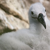 Albatross in West Point Island, Falkland Islands