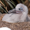 Albatross chick in West Point Island, Falkland Islands