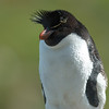Penguin in West Point Island, Falkland Islands