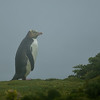 Yellow-eyed Penguin in the mist.