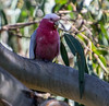 Galah, also known as the Rose-Breasted Cockatoo, Galah Cockatoo, Roseate Cockatoo or Pink and Grey, Phillip Island, Australia.